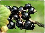Как посадить черную смородину?