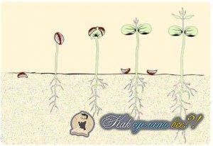 Как вырастить кофейное дерево?