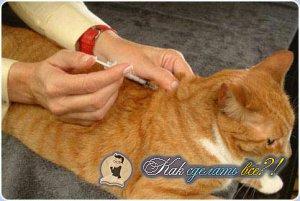 Как сделать внутримышечный укол кошке?