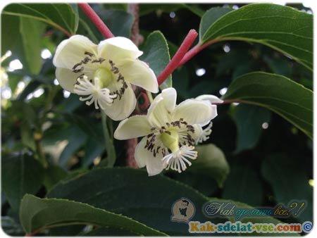 Ежевика садовая фото и описание сортов видео выращивания