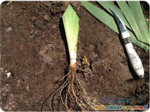 Как посадить ирисы?