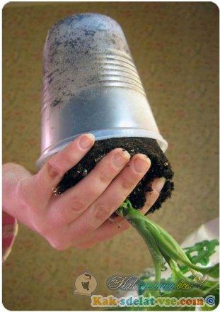 Как пересадить вазоны?