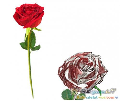 Как нарисовать розу?