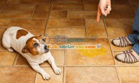 Как приучить щенка к лотку или пеленке?